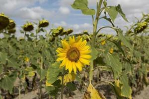 Detail der Sonnenblumen in der Provinz Valladolid, Castilla y Leon, Spanien foto