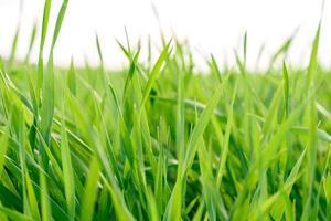 Feld der frischen grünen Grasbeschaffenheit als Hintergrund foto