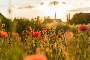 schöne rote Mohnblumen in Unschärfe auf einem schönen grünen Sommerfeld foto