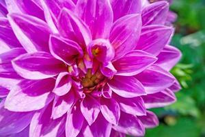 Nahaufnahme Dahlienblüte in der Natur foto