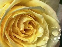 Nahaufnahme von gelber Rose und Regentropfen foto