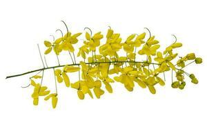 gelbe Blume auf isoliertem weißem Hintergrund, javanische Cassia-Blumen foto