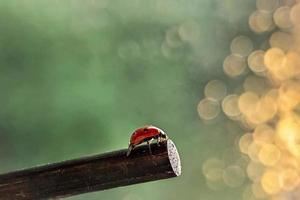 Ein roter Marienkäfer kriecht auf einem Stock in Richtung der Sonnenuntergangsstrahlen. bokeh. Makrofotografie. nach dem Regen foto