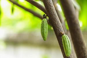 kleine junge Kakaofrucht auf Kakaobaum foto