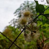 Nahaufnahme der Wasserguave-Blume foto