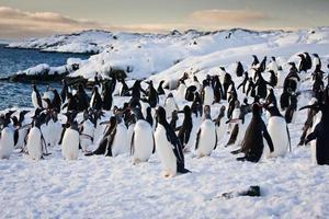große Gruppe von Pinguinen foto
