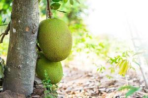 Jackfrucht am Baum foto