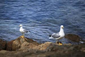 Möwen auf den Felsen der Insel Porquerolles foto