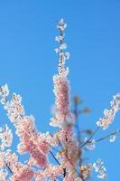 Porträt von Kirschzweigen mit Blüten an einem klaren Himmel foto