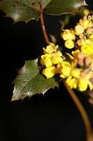 Blume Blüte gelb Berberis Aquifolium Familie Berberidaceae closeup foto