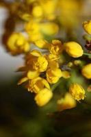 Blume Blüte Berberis Aquifolium Familie Berberidaceae Nahaufnahme drucken foto