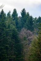 die Majestät des stillen immergrünen Waldes, Winterphänomen. foto