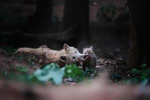 Polarwolf schönes Tier im Wald foto