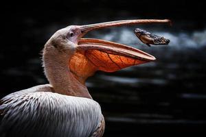 Weißer Pelikan Detailportrait auf dem Wasser foto