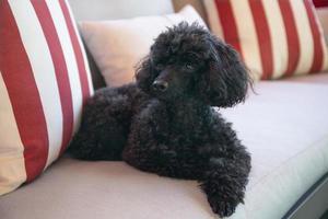 schöner schwarzer Zwergpudel, der auf einem Sofa im Freien ruht foto