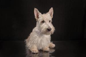 Weißer Scottish Terrier Welpe auf dunklem Hintergrund foto