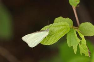 weißer Schmetterling auf Blatt foto