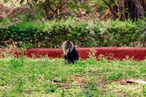 Affe sitzt auf dem Gras, im Zoo, Naturhintergrund foto