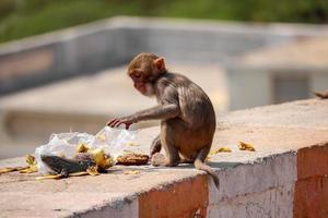 Rhesus-Makakenaffe, Affe sitzt an der Wand und isst Banane foto
