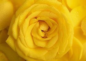 flach liegen schön geblühte bunte Rosenblüten foto