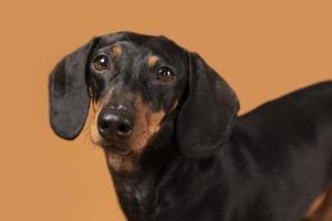 kleiner Hund ist ein entzückendes Porträtstudio foto