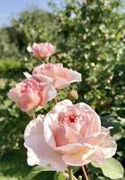 blühende Blumenrose mit grünen Blättern foto