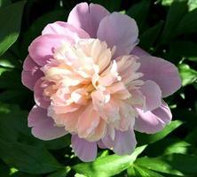 das farbenfrohe Foto zeigt blühende Blumenpfingstrose