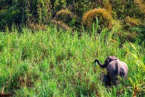 asiatischer elefant ist ein großes säugetier. foto
