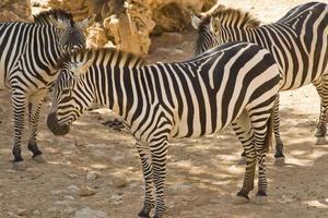 Zebras im Zoo von Jerusalem foto