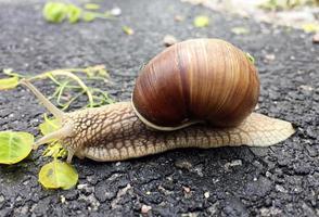 kleine Gartenschnecke im Gehäuse kriecht auf nasser Straße, Schnecke eilig nach Hause foto