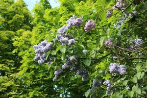 lila Zweige blühen gegen die grünen Ahorne foto