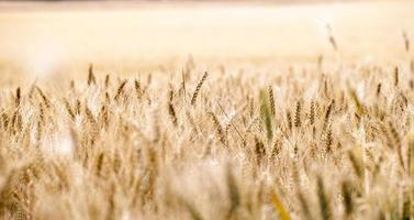 landwirtschaftliches pflanzenspikefeld in der natur foto