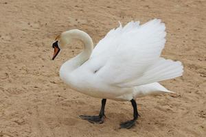 Schwan auf sandigem Hintergrund. weißer großer wilder Vogel foto