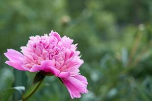 rosa Blumenpfingstrose vor dem Hintergrund des grünen Grases. foto