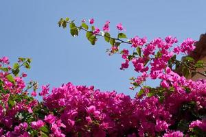 Bougavillia, exotischer Strauch in rosa Farbtönen auf Kreta, Griechenland. foto