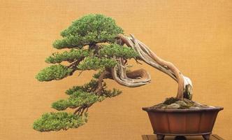 Bonsai-Baum auf gelbem Hintergrund foto