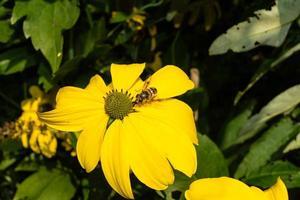 die Insekten sammeln Pollen im Garten foto