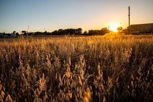 Graben Sie Gras bei Sonnenuntergang von einer orange Farbe foto