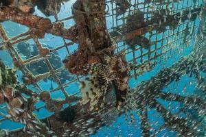 Rotfeuerfische im Roten Meer bunte Fische, Eilat Israel foto