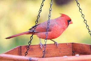 roter Kardinal frisst am Feeder foto