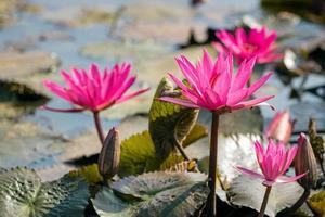 Rote Seerose im See mit selektiver Fokustechnik foto