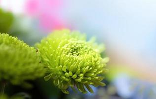 grüne Dahlie im Sonnenlicht foto