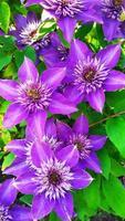 Violette Clematis auf einem Hintergrund von grünen Blättern Nahaufnahme. foto