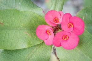 Nahaufnahmefoto von Euphorbia milii mit Exemplar auf der linken Seite foto