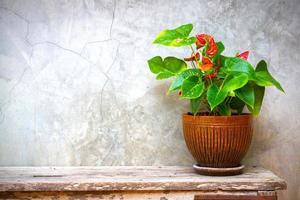 Laceleaf im Blumentopf auf hölzerner Hintergrundtextur mit Raumkopie foto