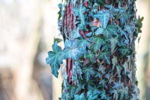 Efeu um eine Pflanze foto