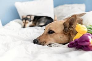 süßer Hund liegt auf dem Bett mit einem Strauß Tulpen foto