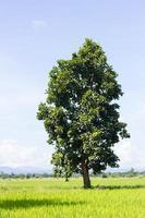 Reisfeld, Baum und hellblauer Himmel foto