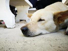 Nahaufnahme thailändischer weißer Hund, der unter einem felsigen Stuhl schläft. foto