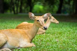 Nahaufnahme einer im Zoo liegenden Antilope foto